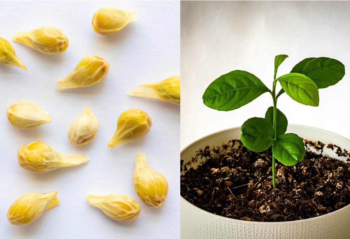 Semi di limone