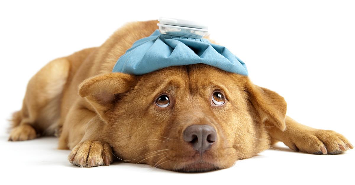 Come trattare il raffreddore del mio cane