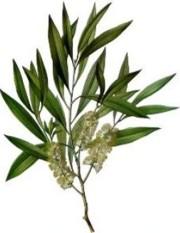 Il tea tree oil: una boccettina che non può mancare nell'armadietto contro una serie di disturbi
