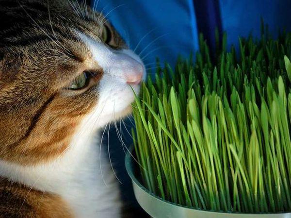 L'erba gatta
