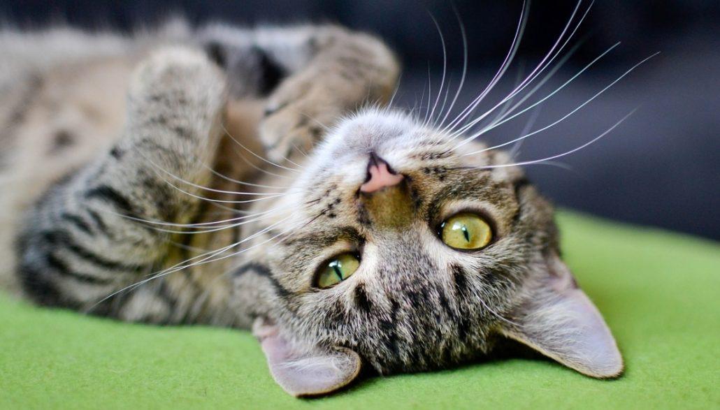 Come rilassare un gatto