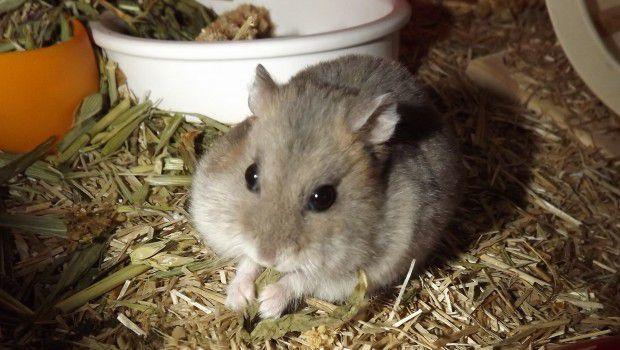 Cosa mangiano i criceti russi?