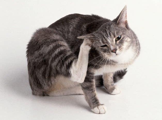 Gli acari del gatto