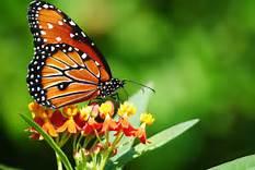 le farfalle