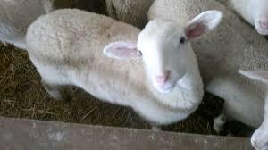 La pecora del matese