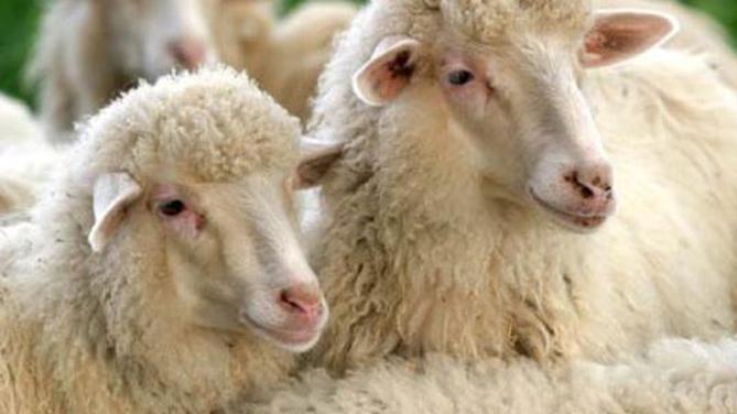 L'allevamento degli ovini