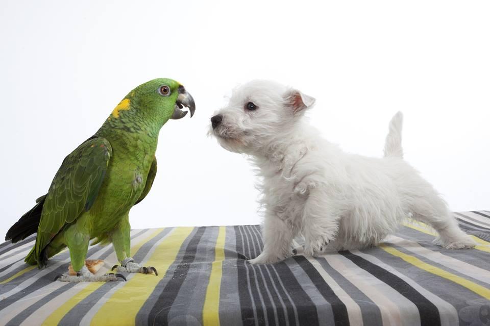 il caratteredel pappagallo amazzone