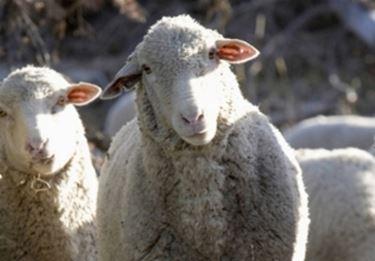 la pecora Matesina