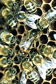 Le api addestrate che trovano le mine antiuomo