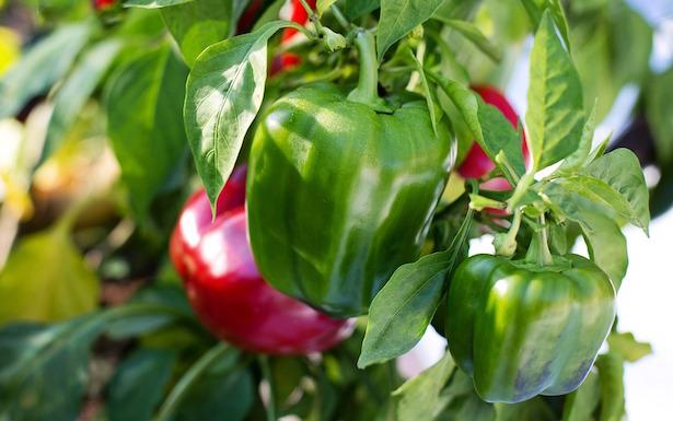 Come piantare i peperoni