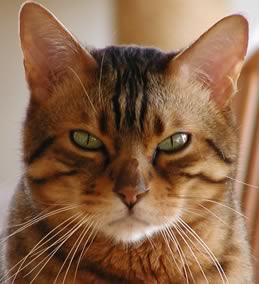 il gatto dei Ba -Ronga