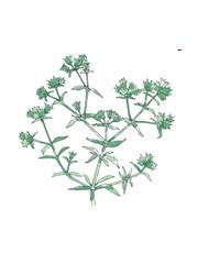I fiori di Bach :Lo Scleranthus annus