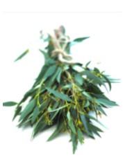 Sciroppo di eucaliptus
