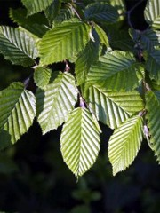 Fiori di Bach : Carpinus betulus