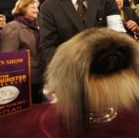 Un cane di razza pechinese di nome Malachy che è il cane più bello d'A