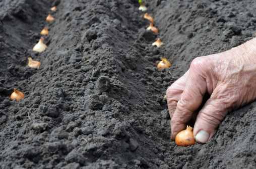 Come piantare le cipolle
