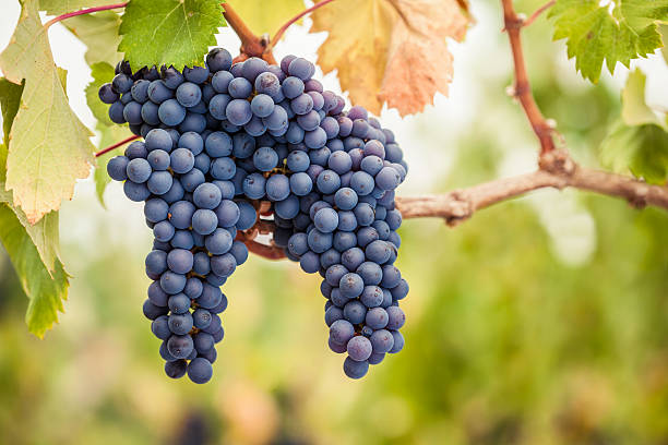 Addio Pinot Nero e Chardonnay