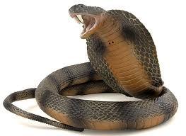 Un cobra morde i testicoli, ma l'amico si rifiuta di ciucciare il vele