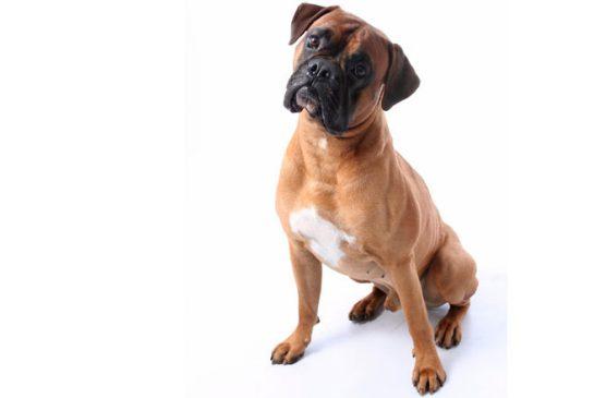 Quanto dovrebbe mangiare il mio cane Bóxer?