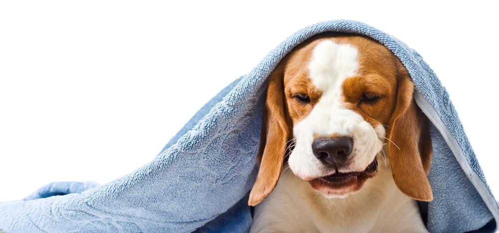 Home rimedi per alleviare la tosse del mio cane