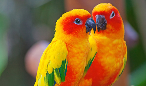 I pappagalli   Il conuro del sole