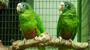 la valutazione del sesso delle amazzoni pappagalli della Amazzonia