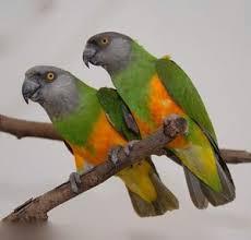 Il pappagallo del Senegal