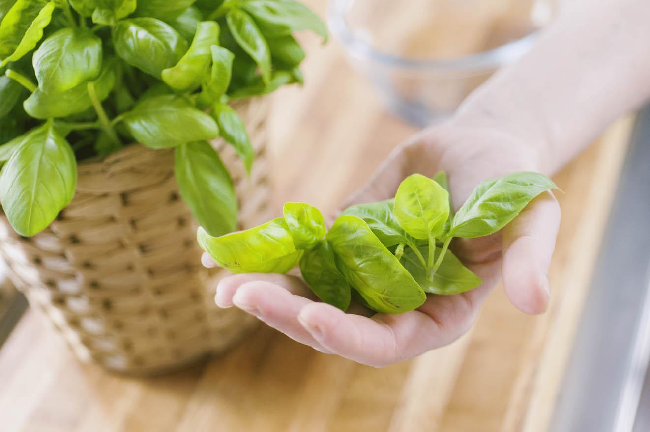 Basilico: usi medicinali e culinari